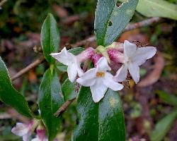 lokta bush Daphne papyracea