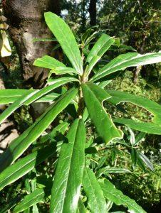 lokta plant